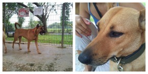 left photo:  the dog I walked    right photo:  a dog looking like a super young version of my twinkle tan.  but she was very very wary of humans.  doesn't bite nor show aggression, just super wary and aways backs away.